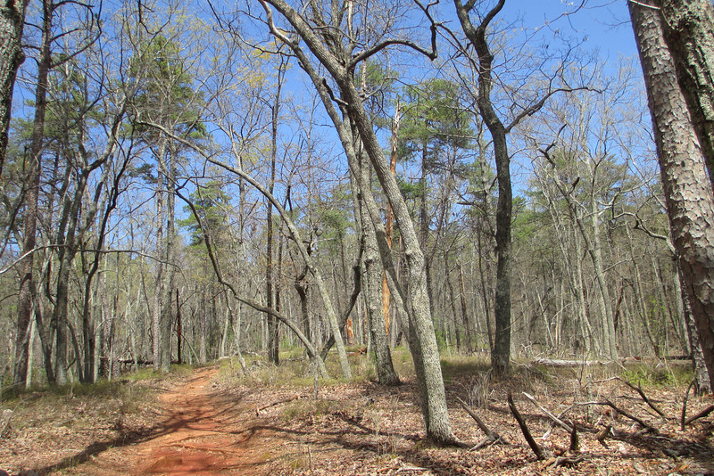 Beginning my drop off the ridge on the Brissy Ridge Trail I was walking through a forest comprised primarily of oak and scattered pine...