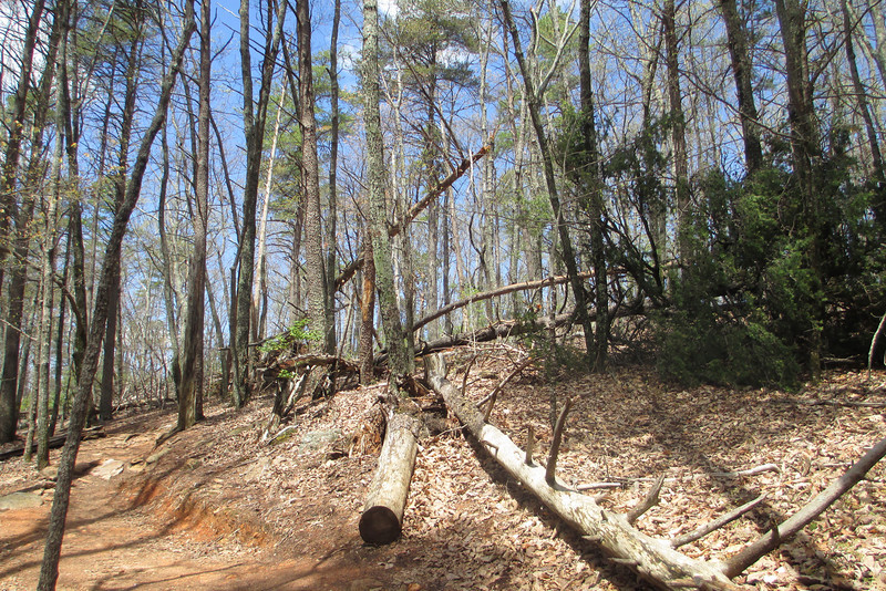 There were a number of large pines down (recently by the looks of it) along this stretch of trail...