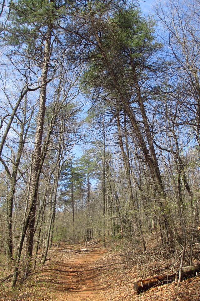 More impressive pines atop the ridge...