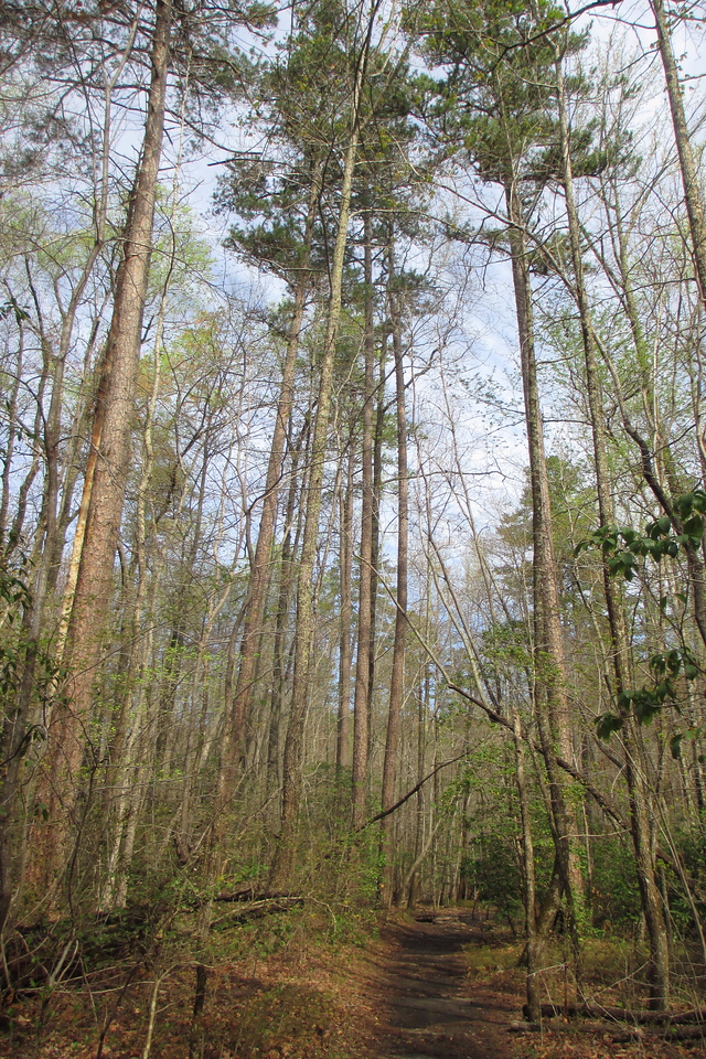 Passing through a grove of impressively tall Shortleaf Pines...