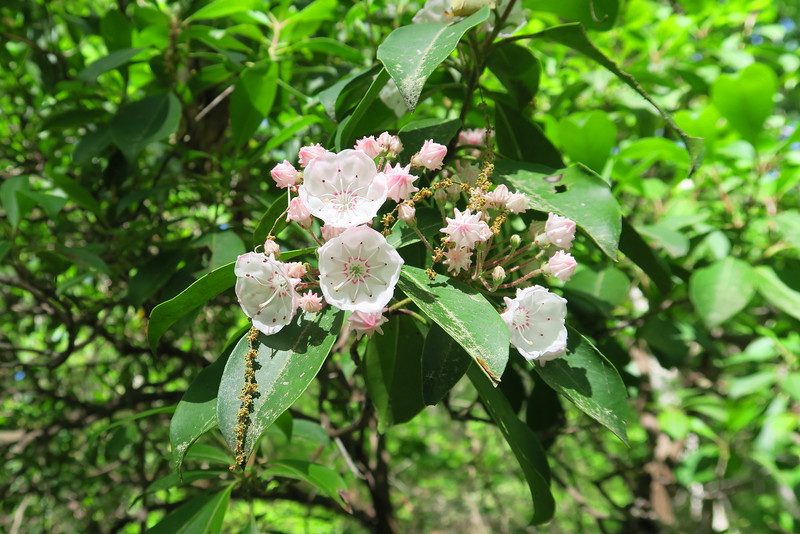 Mountain Laurel - 1,600'
