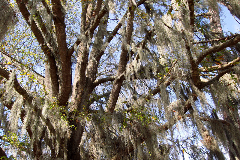 Spanish Moss hangs thickly in the old oak beside the battle site...