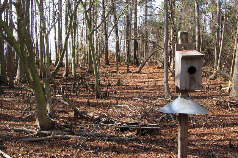 A number of these bird houses dot the surrounding woods.  The area is popular with nesting Wood Ducks and these homes provide additional habitat...