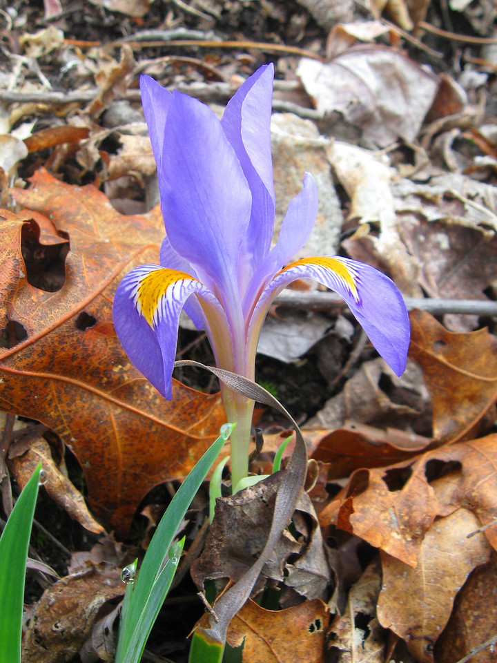 Never knew these little guys existed until this hike...a <i>Dwarf Iris</i>, which really isn't all that uncommon, I'm just a newbie to the area...