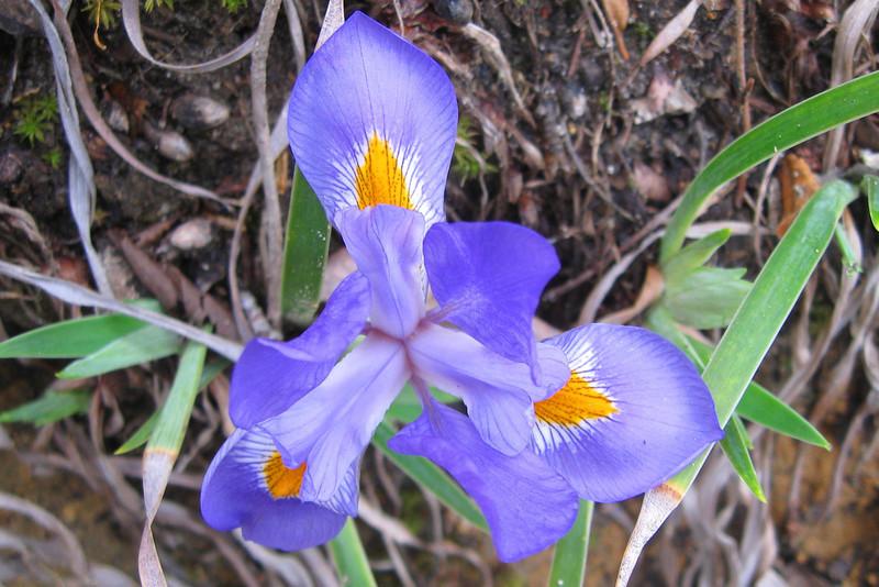 <i>Dwarf Iris</i>