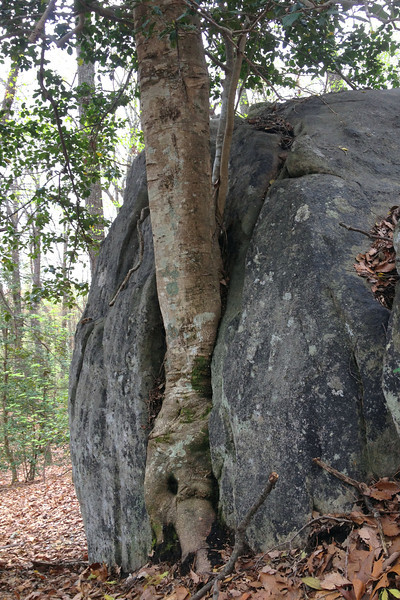 Is it me or does the <i>rock</i> look like it's growing around the <i>tree</i>...