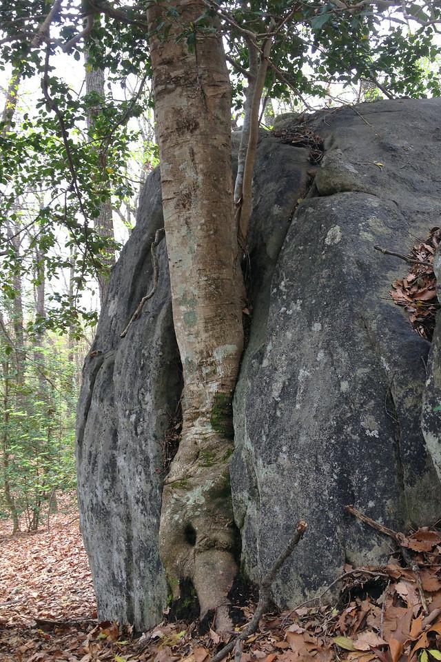 Is it me or does the <i>rock</i> look like it's growing around the <i>tree</i>...