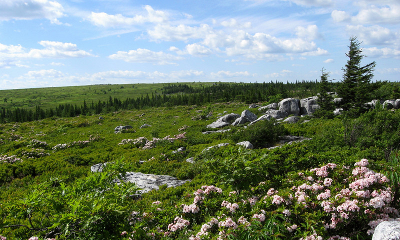 The flora of the area was a curious mix of north and south with the hardy Spruce Trees contrasting with the delicate flowers of the Mountain Laurel...