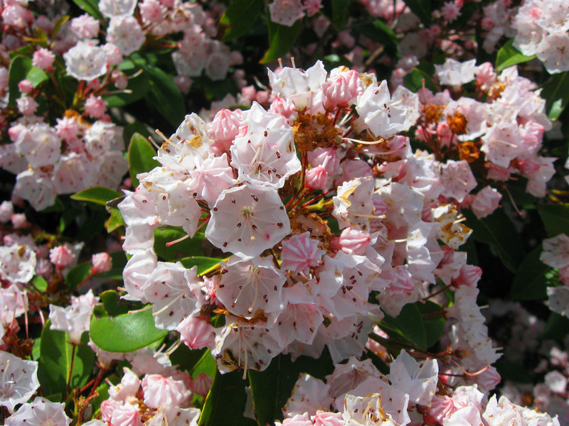 Mountain Laurel...simply stunning...