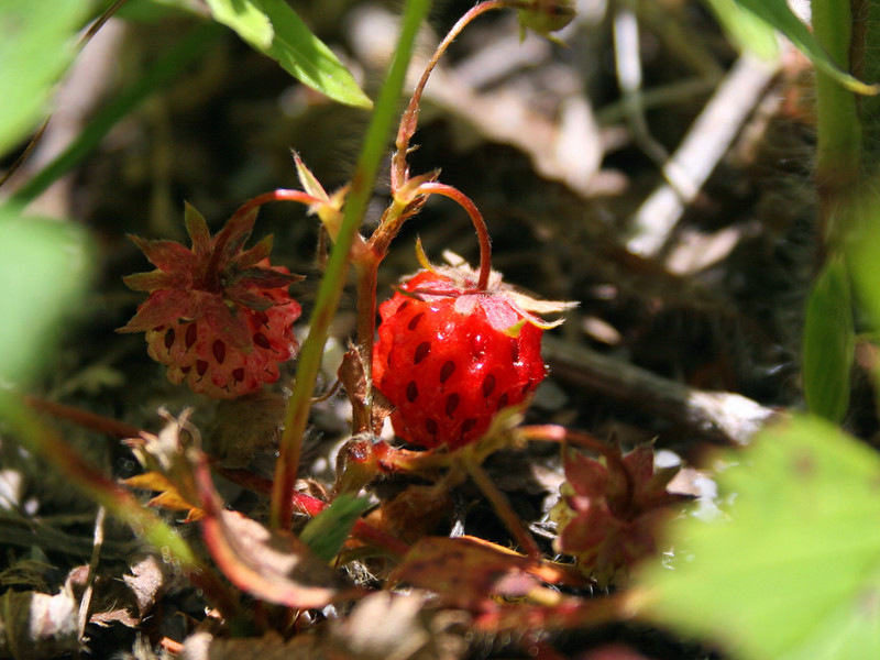 Tiny Wild Strawberries were hiding beneath the ground cover all over the summit...I have to credit my wife for getting me to take this shot...she has a pretty good eye!