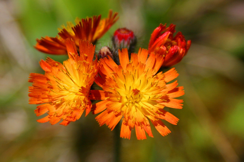 These Orange Hawkweed, also common back north, were in bloom everywhere...