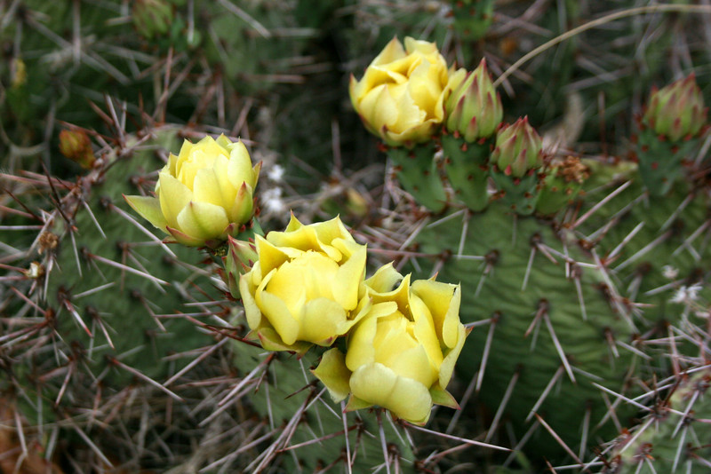 A real treat, Prickly Pear Cactus blooms which usually only last a day or two...