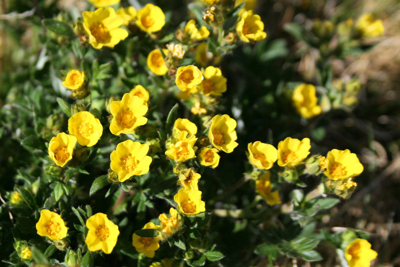 Alpine Buttercup