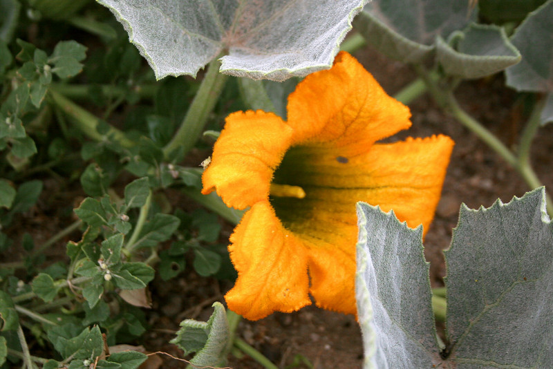 The curious Buffalo Gourd <i>(Cucurbita foetidissima)</i> which was growing quite profusely along the roads in the area...
