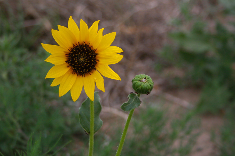 Plains Sunflower