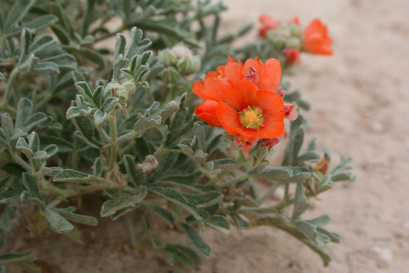 The pretty blooms of the Scarlet Globemallow <i>(Sphaeralcea coccinea)</i>