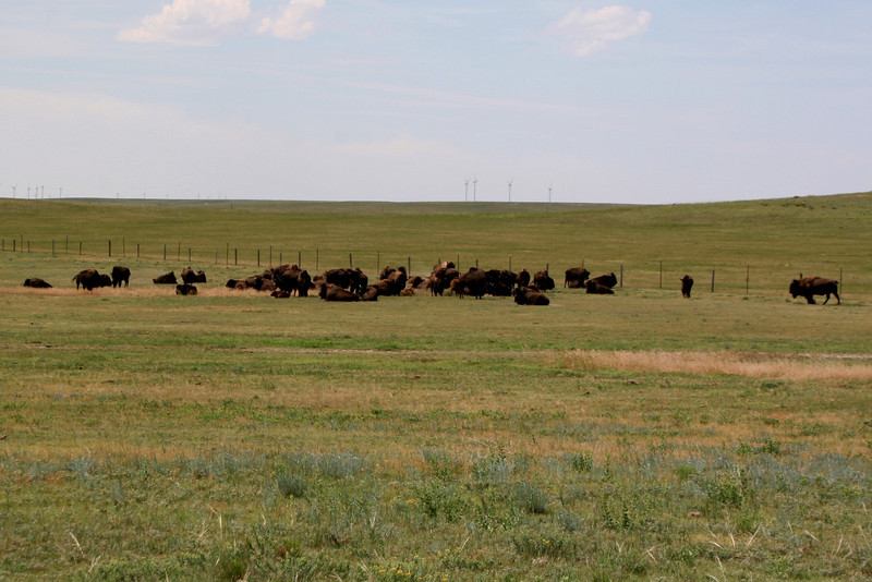 "A herd of Bison near the ""summit""..."