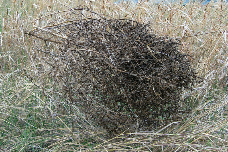 Due to our location of the lee side of the bluff there was plenty of tumbleweed scattered across the area...