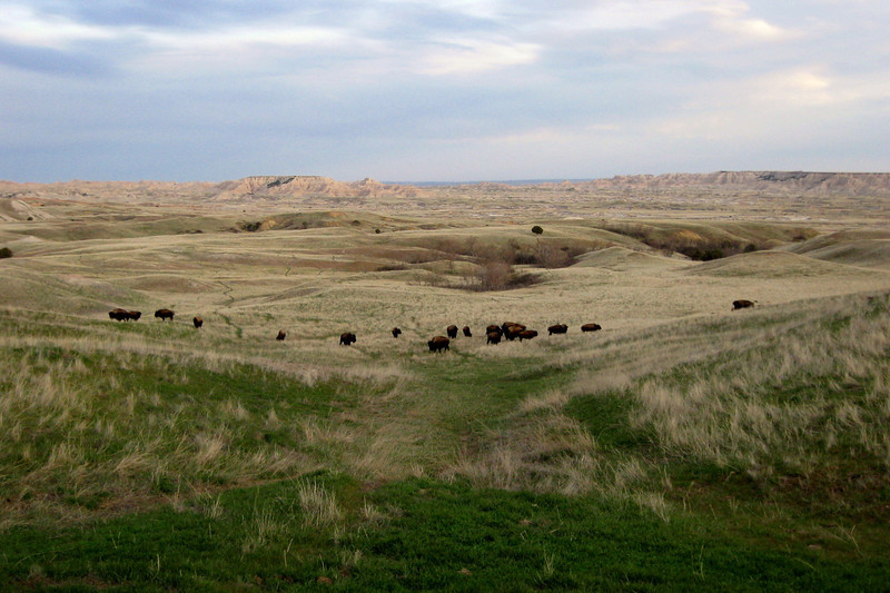 Nearing our home for the night at Sage Creek Primitive Campground we passed this herd of over 20 buffalo...awesome!