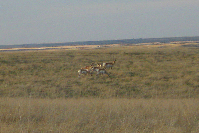Pronghorn grazing along the Sage Creek Rim Road...