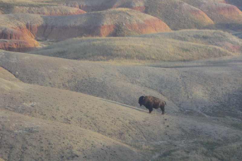 There are over 1,000 bison in Badlands National Park, mostly in the Sage Creek area of the park...for the next couple days here it would be rare, at any given time,  not to see at least one...