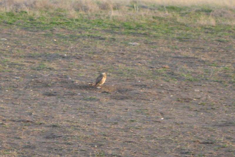 A blurry shot of a Burrowing Owl...