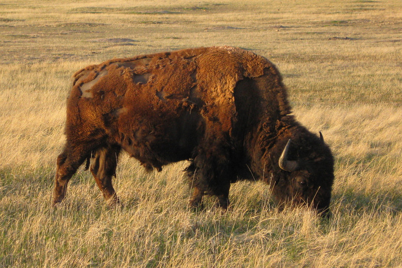 Unconcerned with the van stopped not 30 feet away, this bison was nice enough to pose for a couple shots...