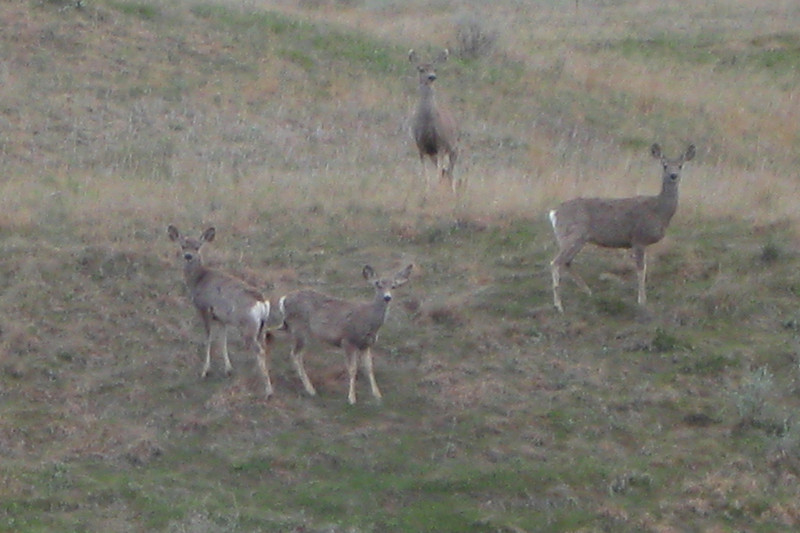 What I believe to be a group of White-tailed Deer eyeballing me from a far ridge...