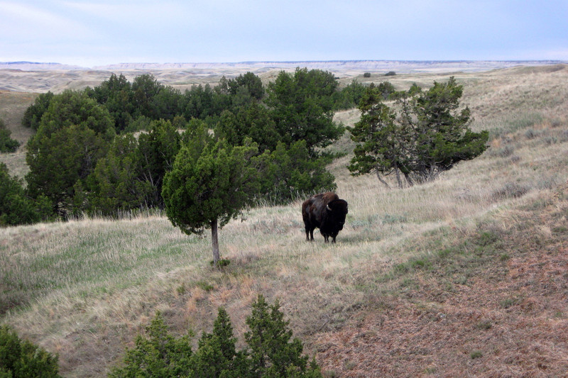 One of my partners topped the rise beyond just as this Bison spotted me...he wasn't too happy to find himself suddenly surrounded and we beat a hasty retreat...