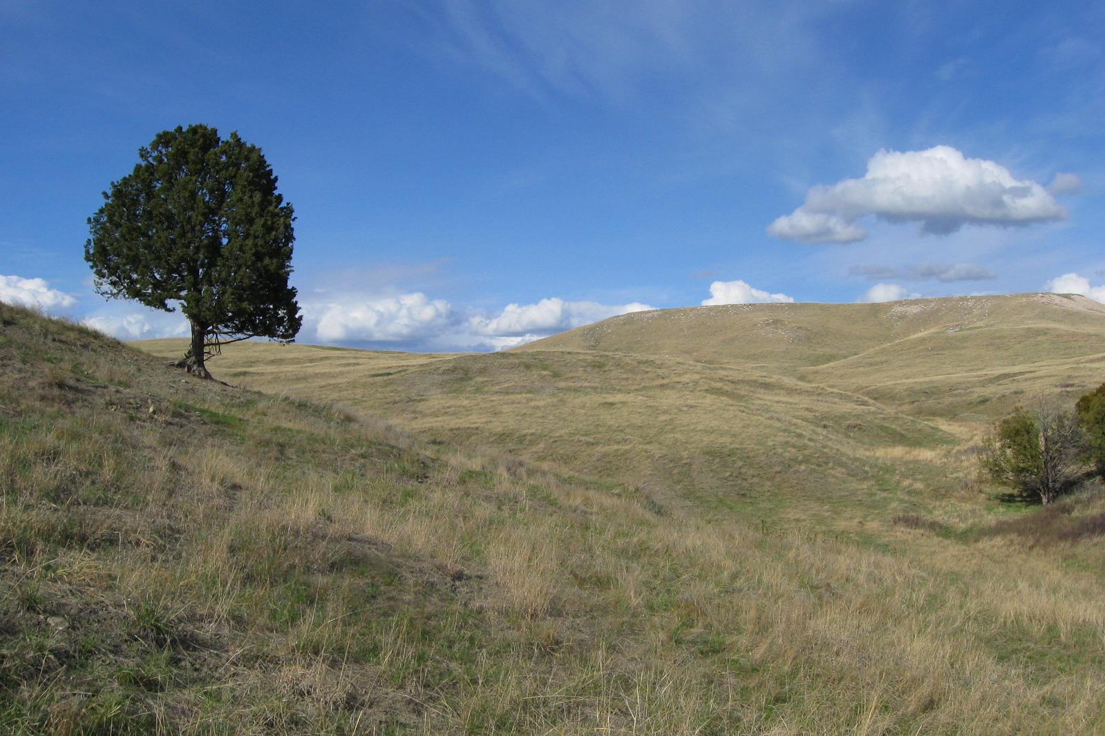 A lonely juniper on the slopes of White Butte...