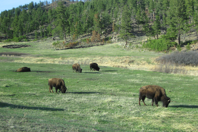 Some 350 bison roam the prairie's above Wind Cave, and this small herd greeted us as we drove in...