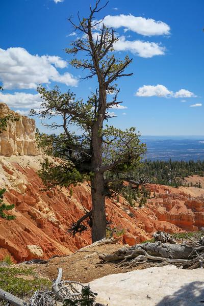 Bristlecone Pine -- 9,020'