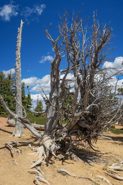 Bristlecone Pine -- 9,040'