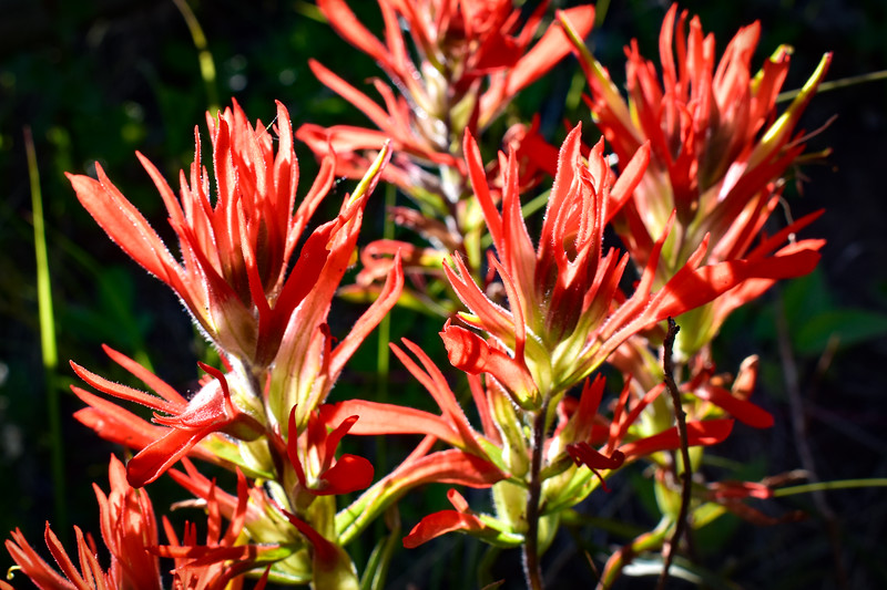 Giant Red Indian Paintbrush