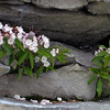 Mountain Laurel growing at the top of a column of rock