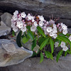 Telephoto of blooming Mountain Laurel at the top of a column of rock at Lindy Point overlook