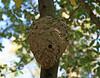 32  Paper Wasps Nest