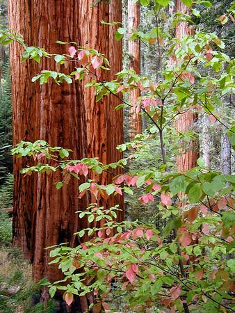 Redwood Canyon, Buena Vista Trail, Grants Grove, King's Canyon NP California. October 11, 2004