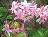 Hoary or Mountain Azalea, too bad you can't smell it