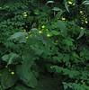 Nipplewort (Lapsana communis)