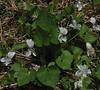 Confederate Violet (Viola papilionacea var albiflora)