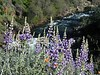 Lupines on the Hite Cove Trail along the Merced River (near Yosemite NP, California)