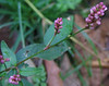 Pink Knotweed or Pennsylvania smartweed<br /> (Polygonum pensylvanicum)