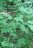 Water Hemlock (Cicuta maculata)