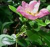 Virginia Rose (Rosa virginiana)