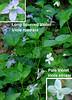 Long-spurred Violet (Viola rostrata) and Pale or Striped Violet (Viola striata)