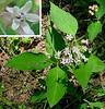 Four-leaved Milkweed (Asclepias quadrifolia) two feet tall