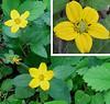 Golden Star or Green and Gold (Chrysogonum virginianum) one-inch diameter flower