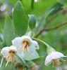 Deerberry (Vaccinium stamineum) half-inch diameter flower