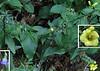 Southern Harebell (Campanula divaricata ) and Entire-leaved False Foxglove (Aureolaria laevigata)